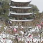 瑠璃光寺五重の塔と紅梅